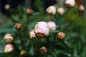 IMG_3445_blomma
