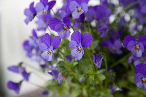 IMG_8231_violett