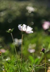 IMG_4573_blomma