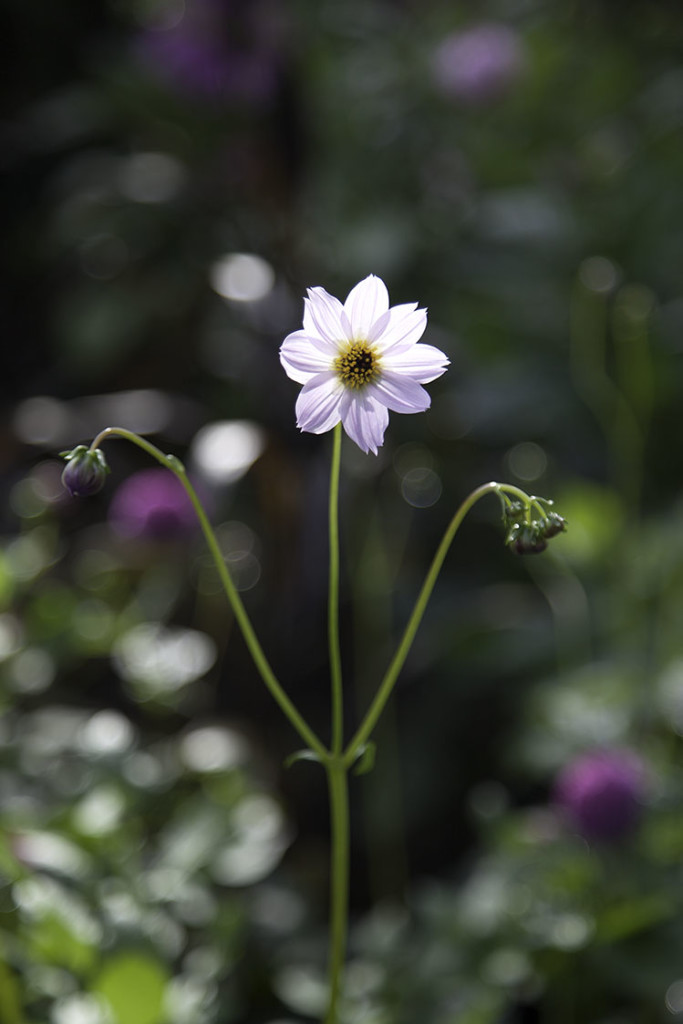 IMG_8880_blomma