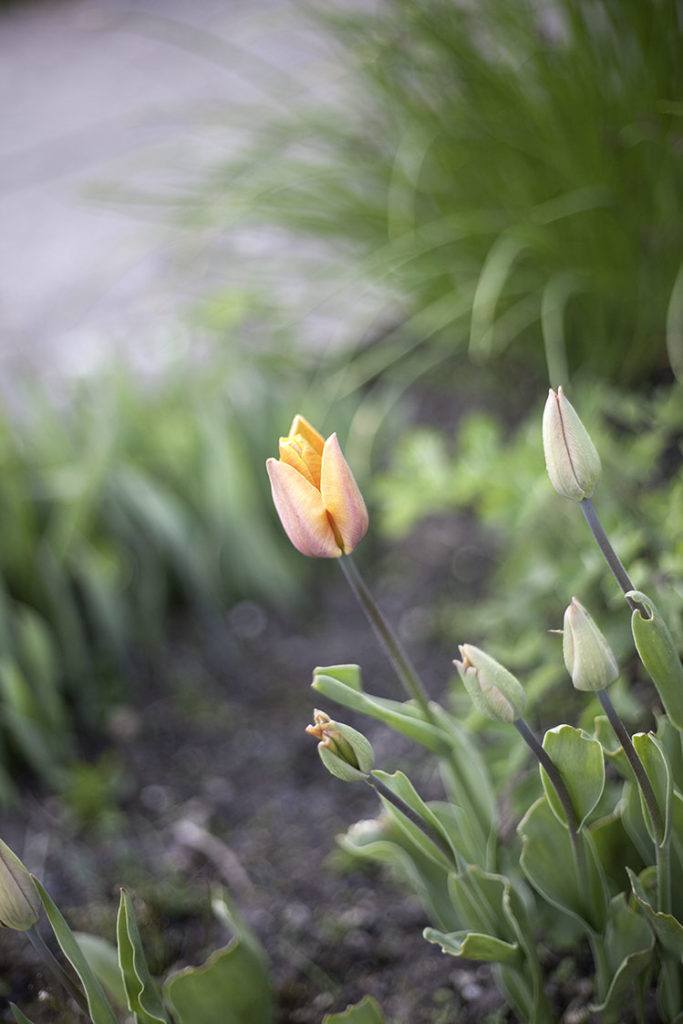 IMG_3046_tulip