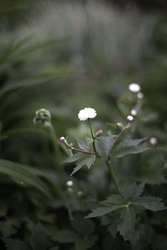 IMG_3075_blomma