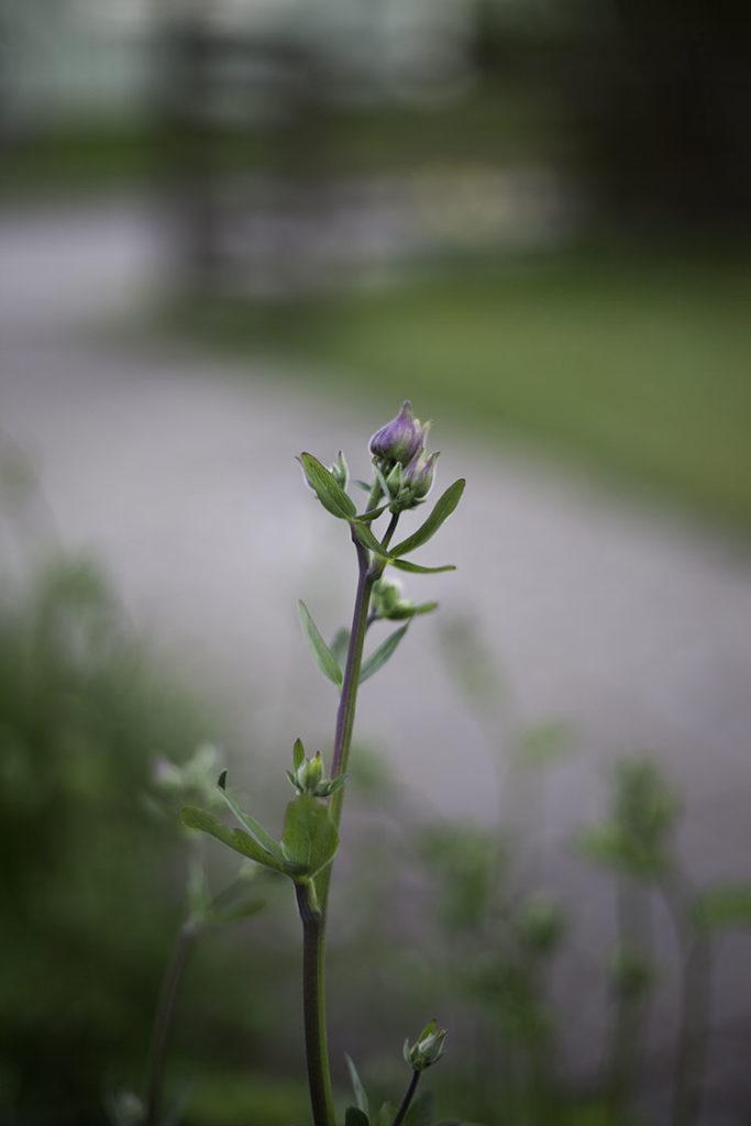 IMG_3077_blomma