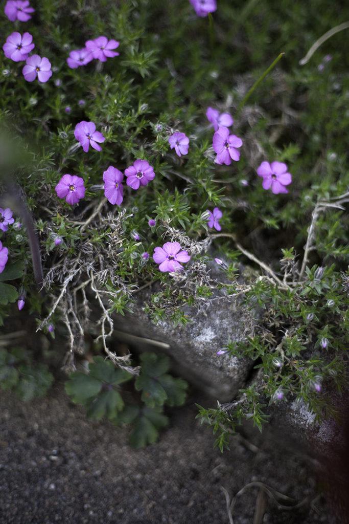 IMG_3089_blomma